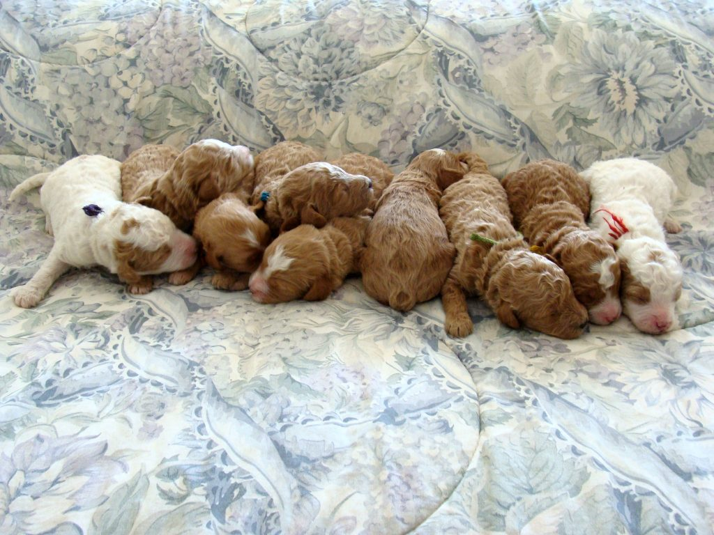 Goldendoodle Association of North America Committed to the