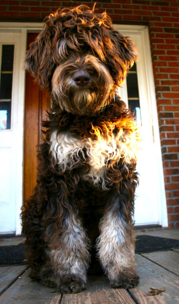 Goldendoodle Association Of North America All About Goldendoodle Colors And Coats
