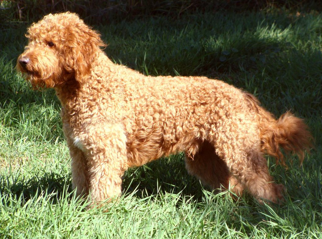 Big Dogs With Short Curly Hair 60
